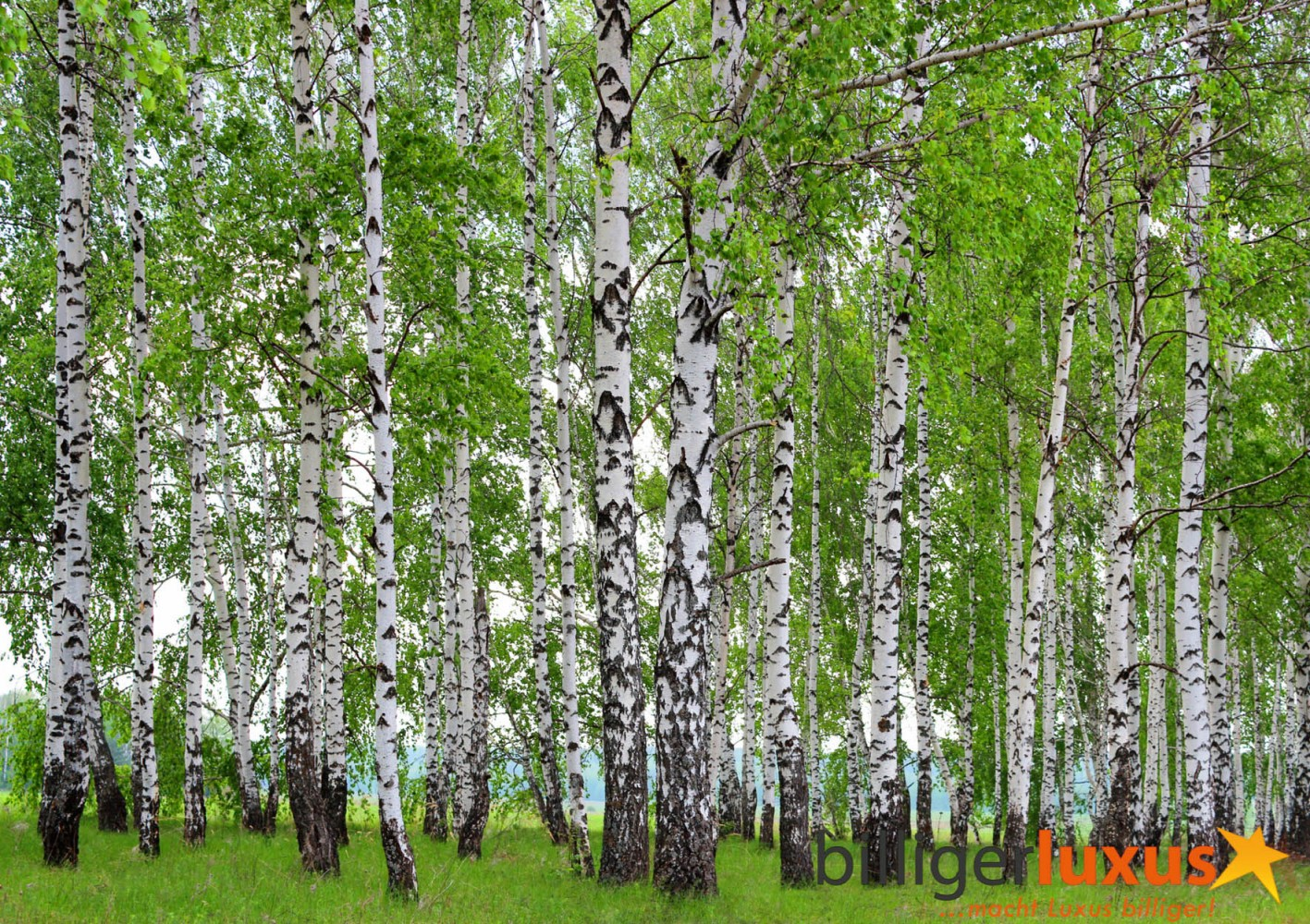 Wall mural wallpaper forest trees birch photo 360 cm x 254 for Birch tree wallpaper mural